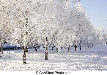 inverno, alberi betulla, vicolo