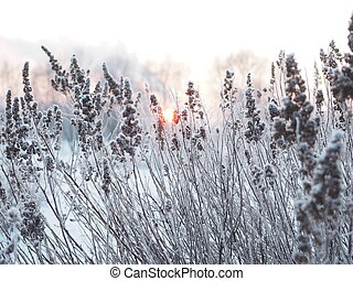 inverno, experiência., spikelets, coberto geada