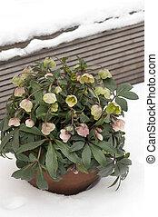 inverno, helleborus