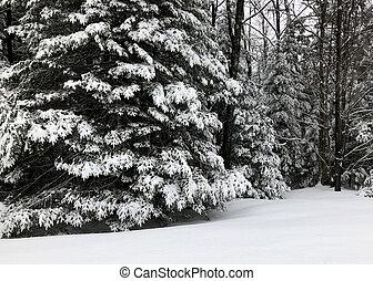 inverno, nevada, ligado, árvores pinho, em, a, floresta