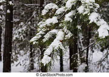 inverno, neve, pinho, forest., ramo, coberto, branca