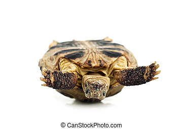 tortoise - inverted tortoise isolated on white background