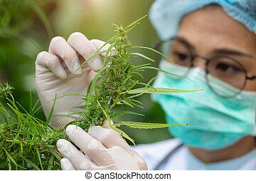 investigación, verificar, herbario, flores, medicina, industry., plantas, científico, aceite, cannabis, alternativa, cbd, hembra, campo, concepto, pharmaceptical, cáñamo, marijuana