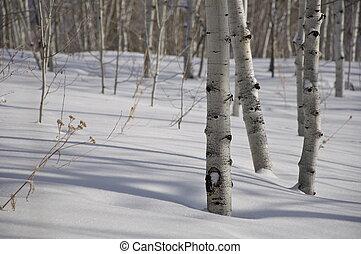 invierno, -, colorado, álamo temblón, árboles