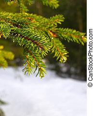 invierno, rama, pino