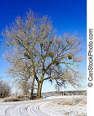 invierno, unido, muérdago, árbol, su, anfitrión, europen, arce