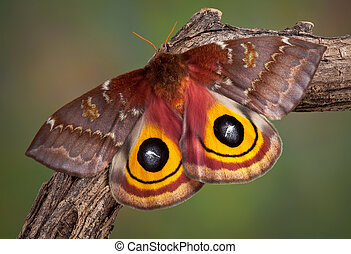 IO Moth - An io moth is sunning itself on a branch.