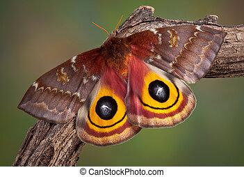 IO Moth - An io moth is sunning itself on a branch.