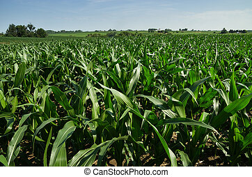 Iowa Cornfield - Iowa cornfield in july with distant trees ...