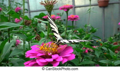 Iphiclides podalirius is a butterfly belonging to the family...