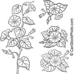 ipomoea, flores, contornos, folhas