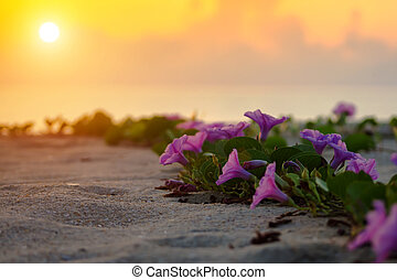 Ipomoea flowers and sunrise in the morning.