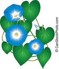 Ipomoea morning glory plant with blue flowers