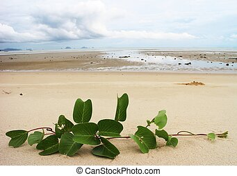Ipomoea on the sands