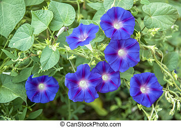 Ipomoea purpurea morning glory in the garden.