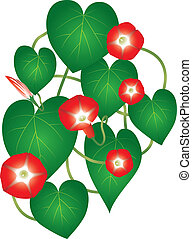Ipomoea red star flower - Ipomoea red star plant with tiny...
