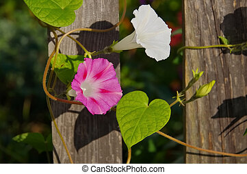 Ipomoea tricolor flower on wooden fence