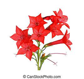 ipomopsis, elszigetelt, elegyít, gally, white virág, aggregata, piros, kolibri