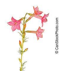 ipomopsis, elszigetelt, elegyít, white virág, aggregata, kolibri