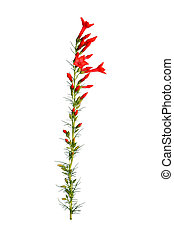 ipomopsis, elszigetelt, szár, elegyít, white virág, aggregata, piros, kolibri