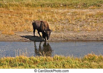 ir,  Yellowstone, Regar, lugar,  bisons