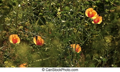 Iranian poppy growing wild