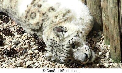 Irbis (Panthera uncia). Wildlife animal.