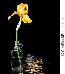 iride, fiore, oro, bottiglia
