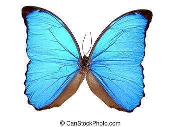 iridescent, blauwe , vlinder, (morpho, menelaus)