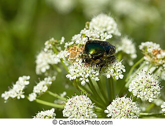 Rose Chafer - Iridescent green Rose Chafer beetle