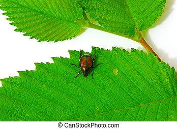 Iridescent Japanese Beetle On Leaf