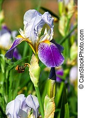 A close up of a iris.