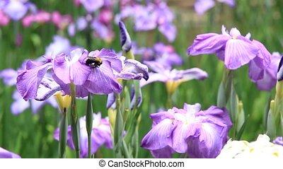 iris, abeille charpentier