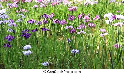 iris and butterfly - I took the state that a butterfly flew...