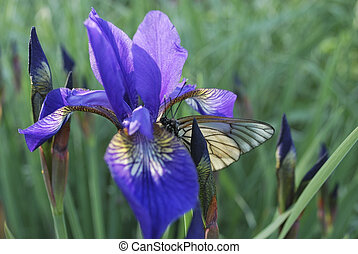 iris and butterfly - the violet iris and the white butterfly