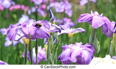 iris and carpenter bee