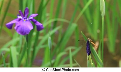 iris and dragonfly - I took an iris and a dragonfly.