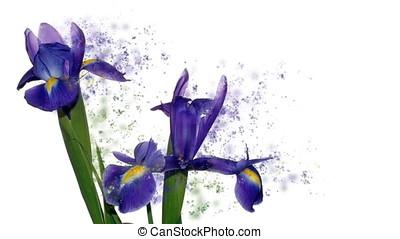iris, bloem, tegen, witte , geur, partikels, vliegen