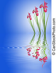 iris, bloemen, rood