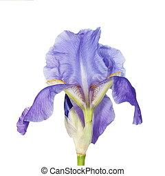 iris, blomma, isolerat, vita