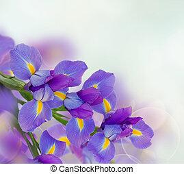 iris, blomningen, bakgrund