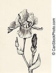 iris, blomst, pen blæk, affattelseen