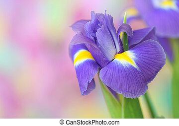 iris, blomst