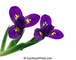 iris, blomster