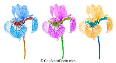 iris, créatif, fond, fleurs blanches, multicolore