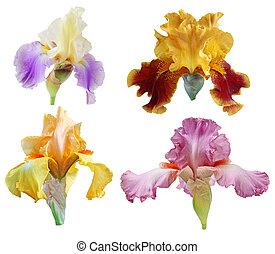 iris, fleurs, ensemble