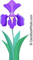 iris, flor, ilustración
