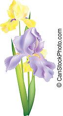 iris, flores, ilustración