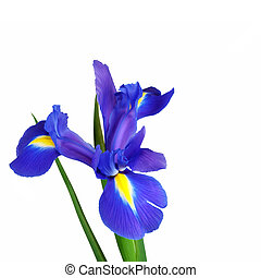 Blue iris flower isolated over white background. Spuria.