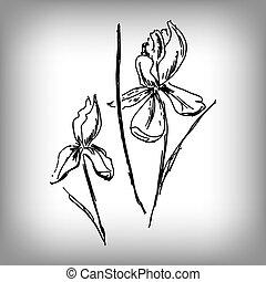 iris, flower., drawing., mano., ilustración, vector, monocromo